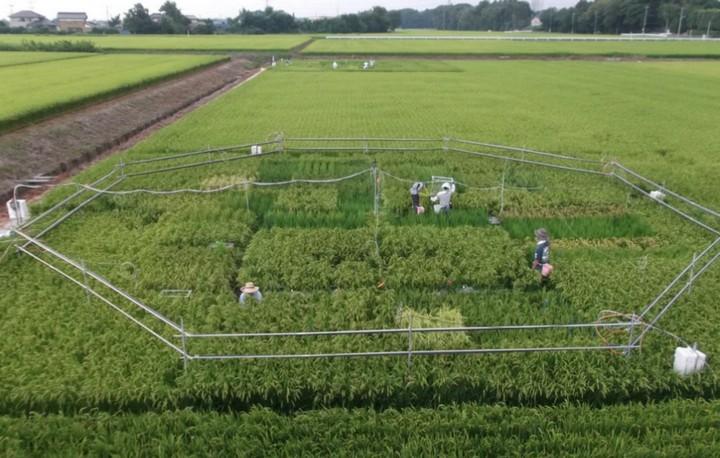 Nồng độ CO2 quá cao có thể khiến gạo mất nhiều dưỡng chất quan trọng?