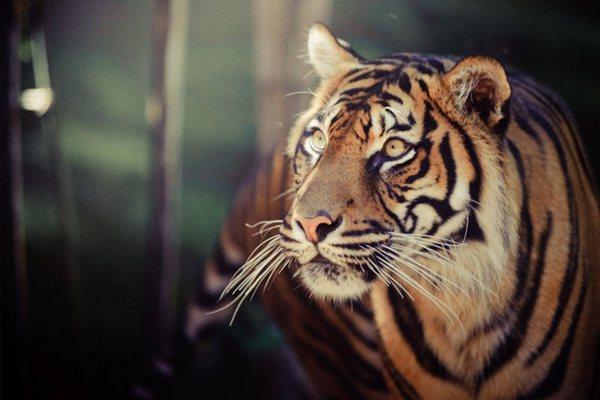 Loài hươu, hổ và gấu đang phải kiếm ăn vào ban đêm… chỉ vì tác động của con người