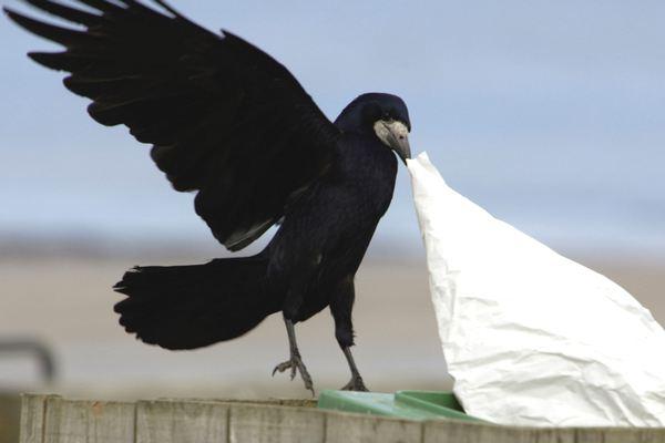 """Công viên giải trí tại Pháp huấn luyện """"tiểu đội quạ"""" có nhiệm vụ nhặt rác và làm sạch đường phố"""