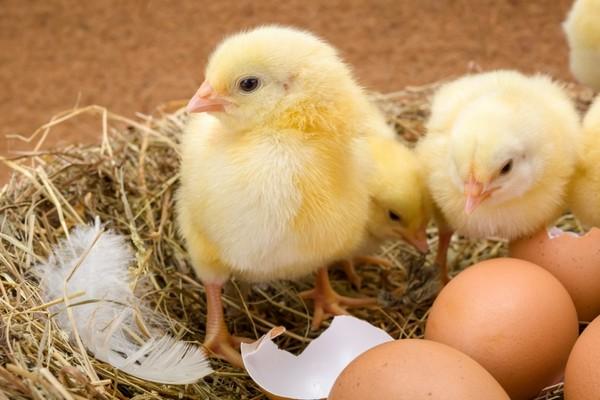 Trung Quốc ấp thành công gà con ngay cả khi trứng bị đập vỡ hết vỏ