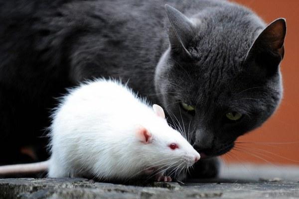 Khoa học: Loài mèo đã đánh lừa chúng ta rằng... chúng biết bắt chuột