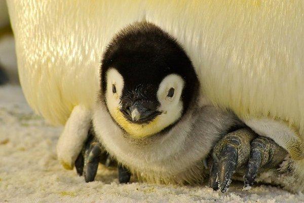 """Cặp chim cánh cụt đồng tính """"bắt cóc"""" con của cặp đôi khác vì tưởng nhầm chim con bị bỏ rơi"""