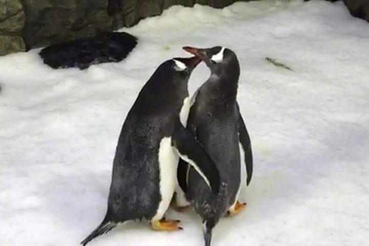 [Chuyện lạ] Cặp đôi chim cánh cụt đồng giới vừa sinh con