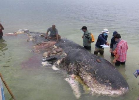 Tìm thấy trăm cốc nhựa, hai chiếc tông trong bụng cá voi chết ở Indonesia