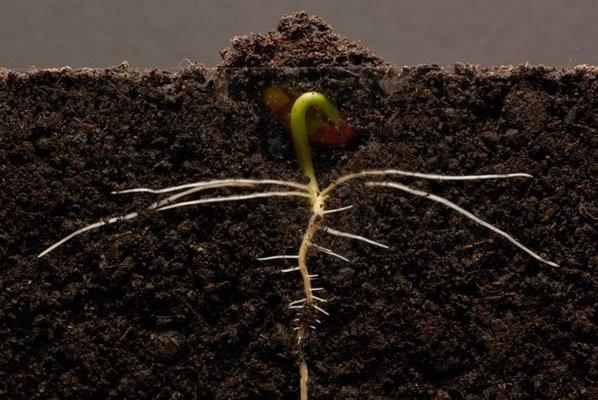 [Video thú vị]: Cận cảnh quá trình hạt đậu nảy mầm tới khi bén rễ và mọc thành cây