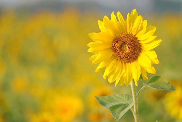 """Vì sao """"hoa hướng dương"""" lại trở thành từ khóa được tìm kiếm nhiều nhất trên Google tại Việt Nam?"""