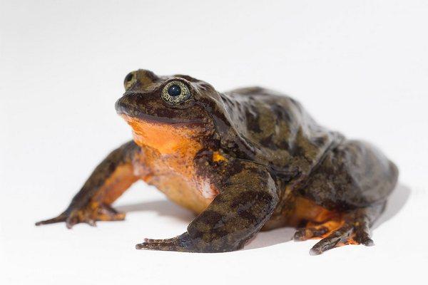 """Ơn giời: Chú ếch cô đơn nhất thế giới đã tìm được """"bạn gái"""""""