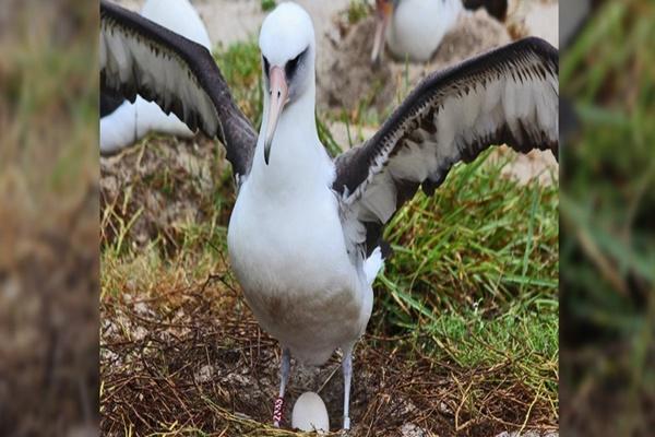 Con chim già nhất thế giới đã gần 70 tuổi và vẫn đẻ đều đều