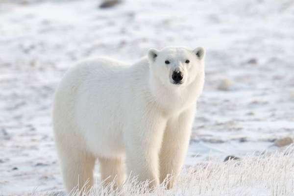 Biến đổi khí hậu buộc gấu Bắc Cực phải di cư,  tràn cả vào nơi con người sinh sống