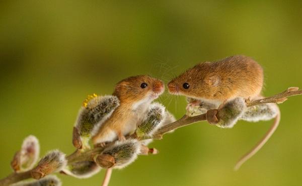 """Chuột """"tán gái"""" bằng cách... hát"""
