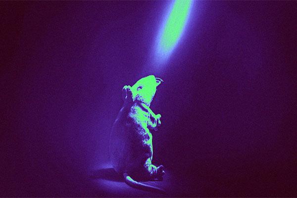 Nghiên cứu: Trị nghiện rượu trên chuột bằng cách... bắn tia laser vào não