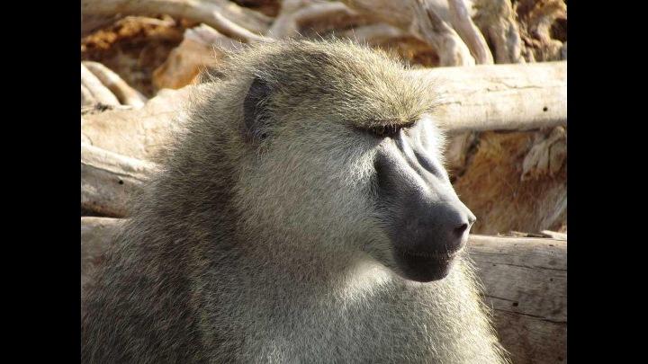 Khỉ đầu chó: khỉ đầu đàn stress nhất nhưng hồi phục nhanh hơn, khỉ cấp thấp chịu stress dài hạn