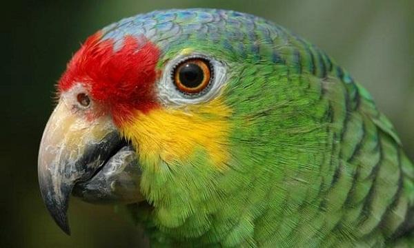 Vẹt bị bắt giam vì canh gác cho băng nhóm buôn ma túy ở Brazil