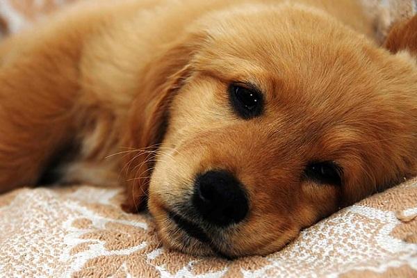 [Giải ngố] Chó có dậy thì không?