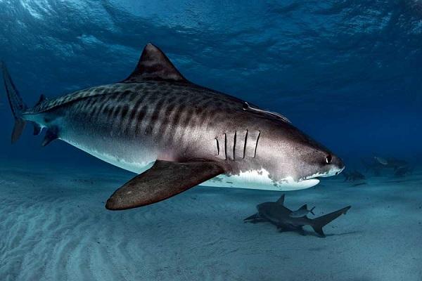 Khoa học chứng minh: cá mập hổ con ăn được cả thịt chim sống trên cạn