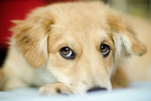 Cún cưng của bạn nhướn lông mày để ra vẻ đáng yêu