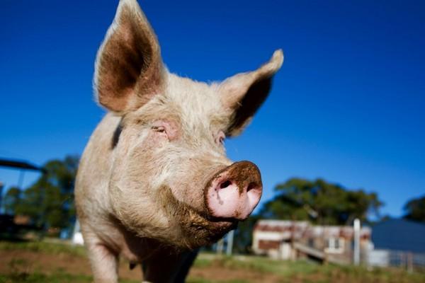 Trong tương lai không xa, tim lợn có thể được dùng để cấy tạng cứu người