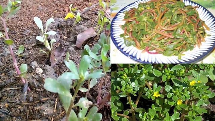 Những công dụng tuyệt vời từ cây rau sam mọc dại trong vườn