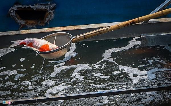 Cá Koi lờ đờ, chết ngửa bụng sau 2 ngày ở bể xử lý nước sông Tô Lịch