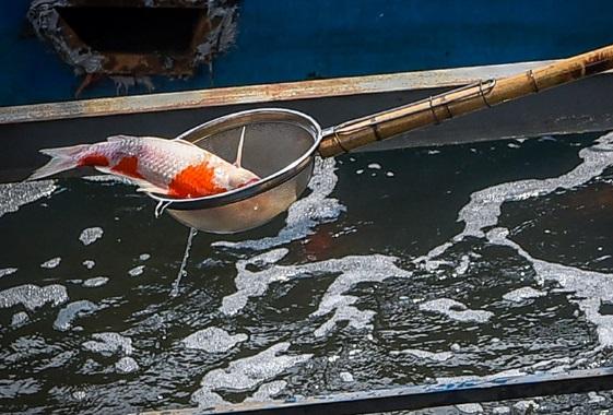"""Cá Koi sông Tô Lịch chết """"do bị phá hoại"""" là kết luận hồ đồ"""