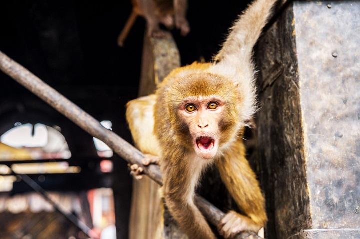 Các nhà khoa học đang tạo ra loài động vật lai giữa người và khỉ ở Trung Quốc