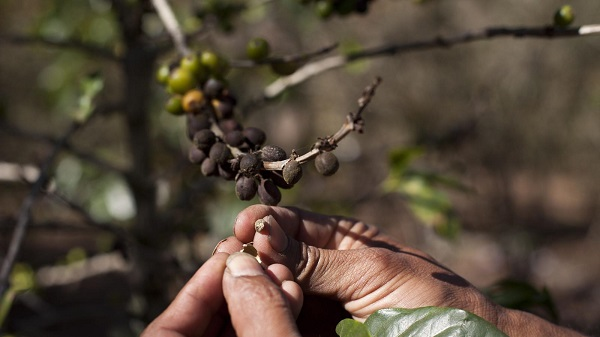 Cà phê đứng trước nguy cơ tuyệt chủng do biến đổi khí hậu