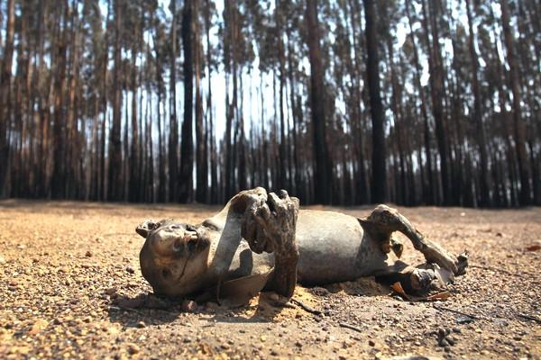 Loạt ảnh đau thương về những loài động vật bị cháy đen trong thảm họa cháy rừng ở Úc