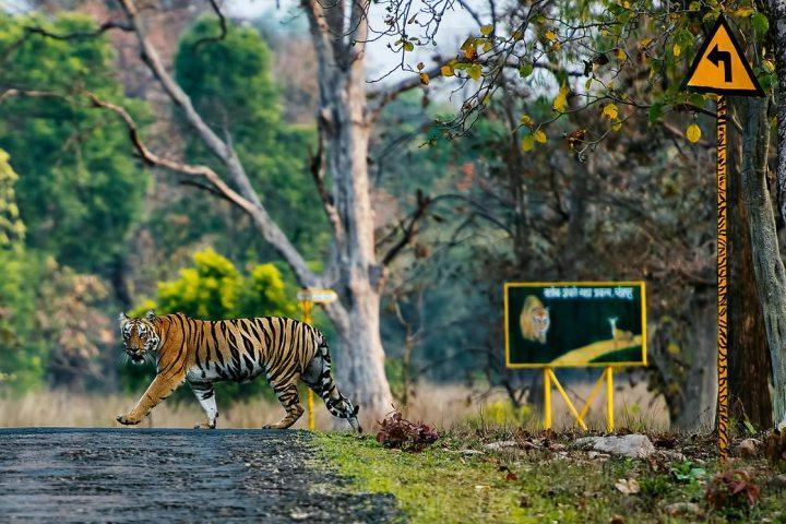 Hổ không muốn ăn thịt người, nhưng chúng ta không cho chúng nhiều lựa chọn