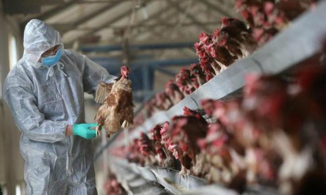 Trung Quốc đang khốn khổ vì virus corona, một ổ dịch cúm gia cầm H5N1 lại vừa bùng phát ở tỉnh Hồ Nam