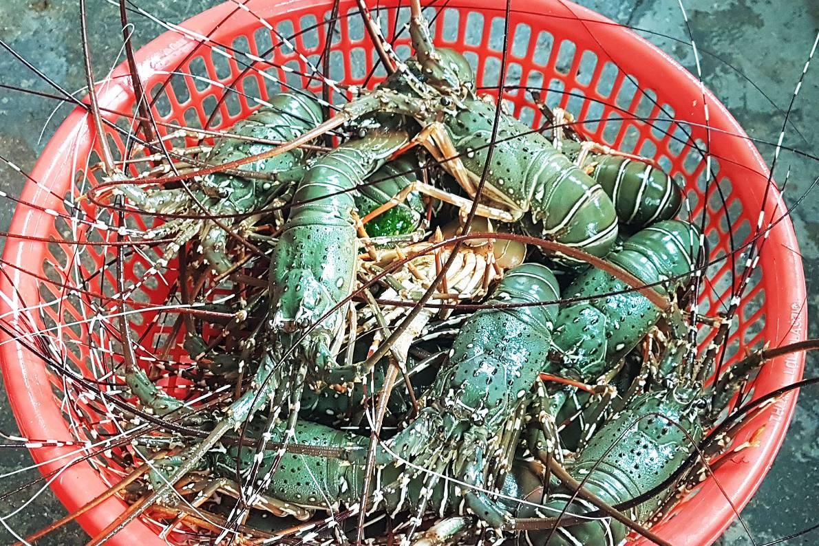 Không có chuyện giải cứu tôm hùm Phú Yên giá 200.000 đồng/kg