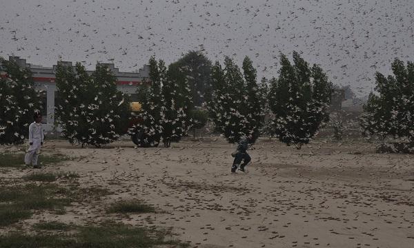 Không có chuyện Trung Quốc đưa 100.000 con vịt đến giúp Pakistan diệt châu chấu