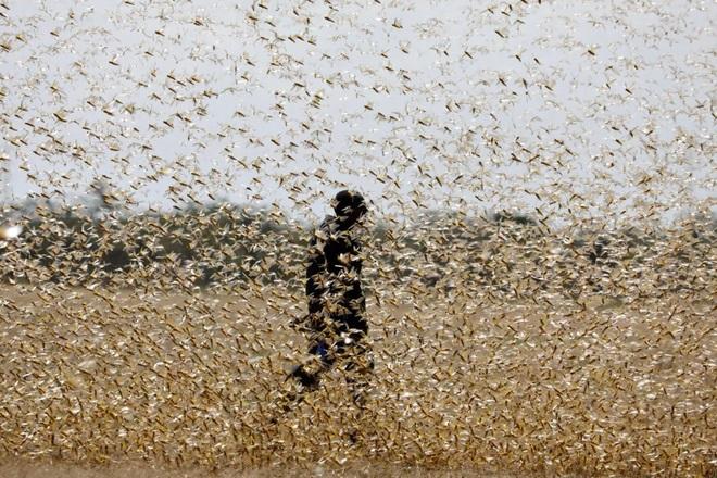 Chưa hết virus corona, Trung Quốc đã phải đối mặt với 'đại dịch' châu chấu