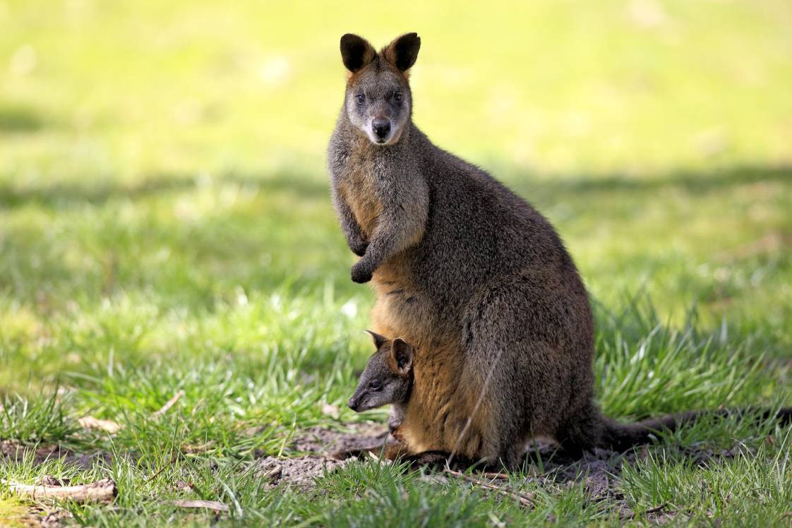 Loài động vật duy nhất thế giới luôn ở tình trạng mang thai suốt cả tuổi trẻ
