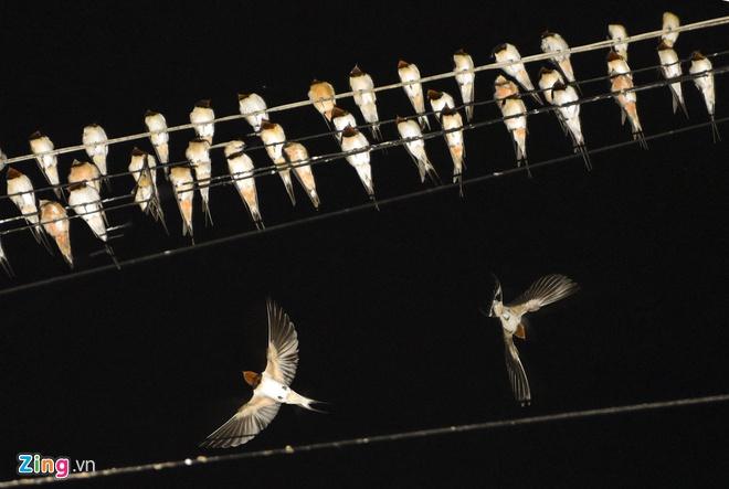 Hàng ngàn chim én đậu kín dây điện giữa khu chung cư