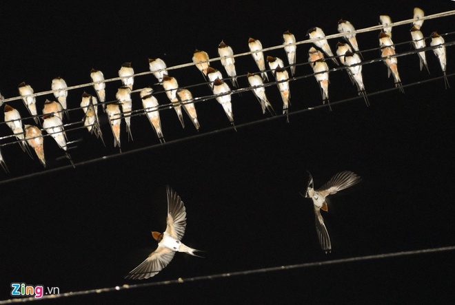 Hàng ngàn chim én đậu kín dây điện giữa khu dân cư, người dân nói chưa từng thấy