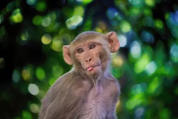 Ấn Độ truy tìm con khỉ cướp mẫu máu bệnh nhân COVID-19 rồi bỏ trốn