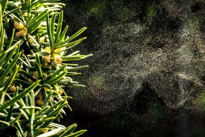 Tại sao phấn hoa khiến bạn hắt xì?