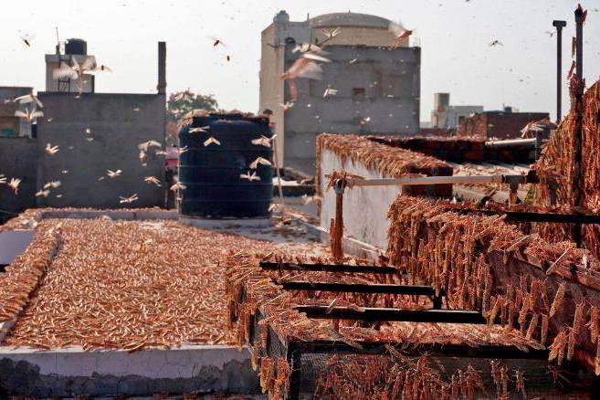 Ấn Độ đang chật vật chống đỡ đàn châu chấu sa mạc dài 7km