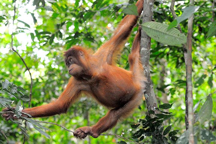 WWF-Indonesia dùng dịch vụ đám mây Amazon cứu đười ươi Orangutan khỏi tuyệt chủng
