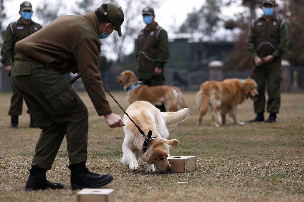 Nghiên cứu tại Đức chỉ ra rằng chó có thể đánh hơi được sự lây truyền coronavirus