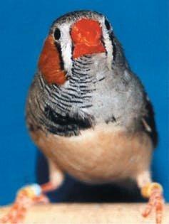 chim sẻ vằn