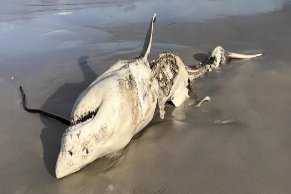 Hóa ra còn có sinh vật đại dương khác khiến cá mập trắng khổng lồ khiếp sợ