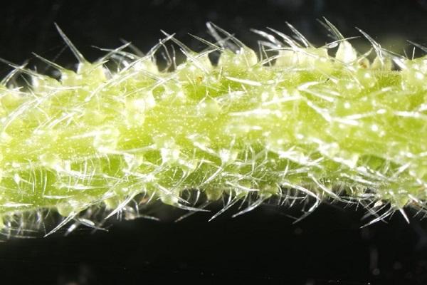 """Loài cây nước Úc này có thể """"tiêm"""" nọc độc như bọ cạp, cơn đau kéo dài nhiều ngày trời"""
