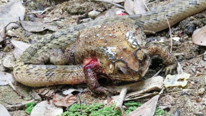 Ngạc nhiên cảnh rắn mổ bụng ăn nội tạng thay vì ăn trọn vẹn con mồi