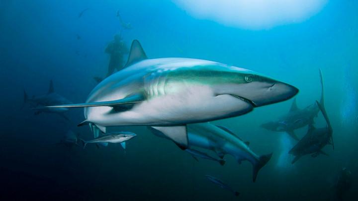Vắc-xin Covid-19 có thể giết nửa triệu cá mập?