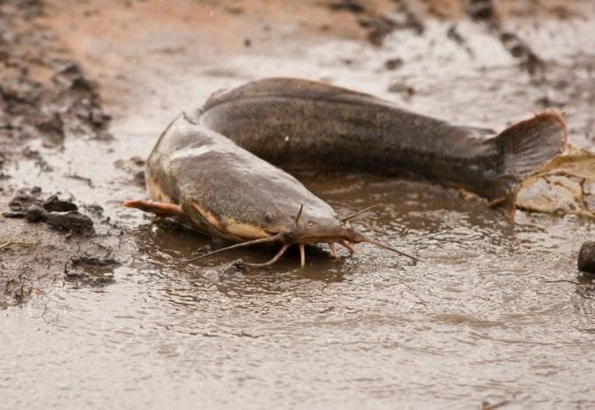 Tại sao cá trê có nhiều râu? – VnReview