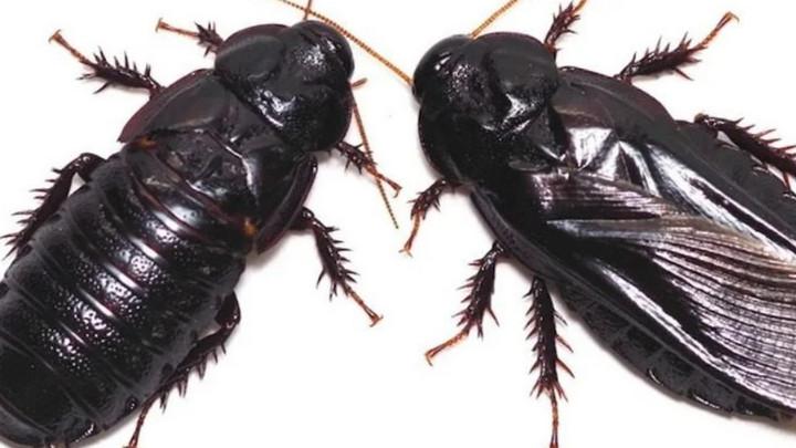 Tại sao loài gián thường... ăn cánh của nhau sau khi quan hệ tình dục?
