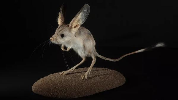 Loài chuột với đôi tai dài bằng… một nửa chiều dài cơ thể