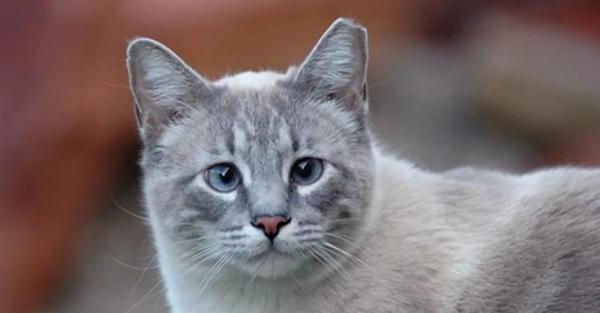 Tại sao nhiều mèo bị thiếu một đầu tai?