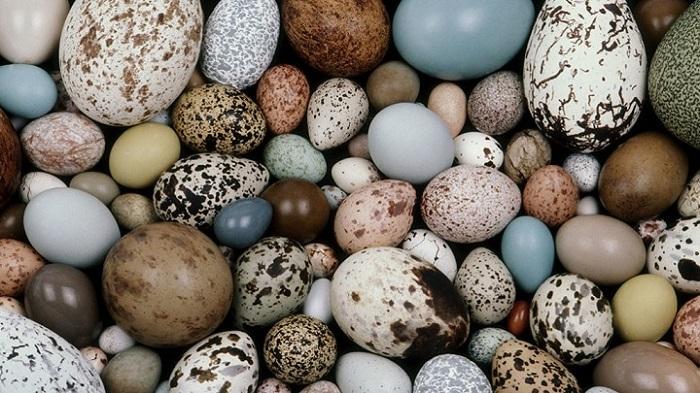 Vì sao trứng gà có nhiều màu sắc trắng, xanh, nâu?